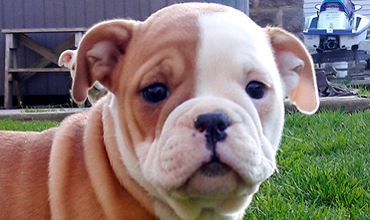 Doubletake Bulldogge Puppies