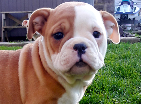 Doubletake Bulldoggies Puppy #1